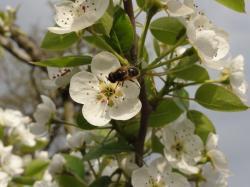 Pollinisation et abeilles